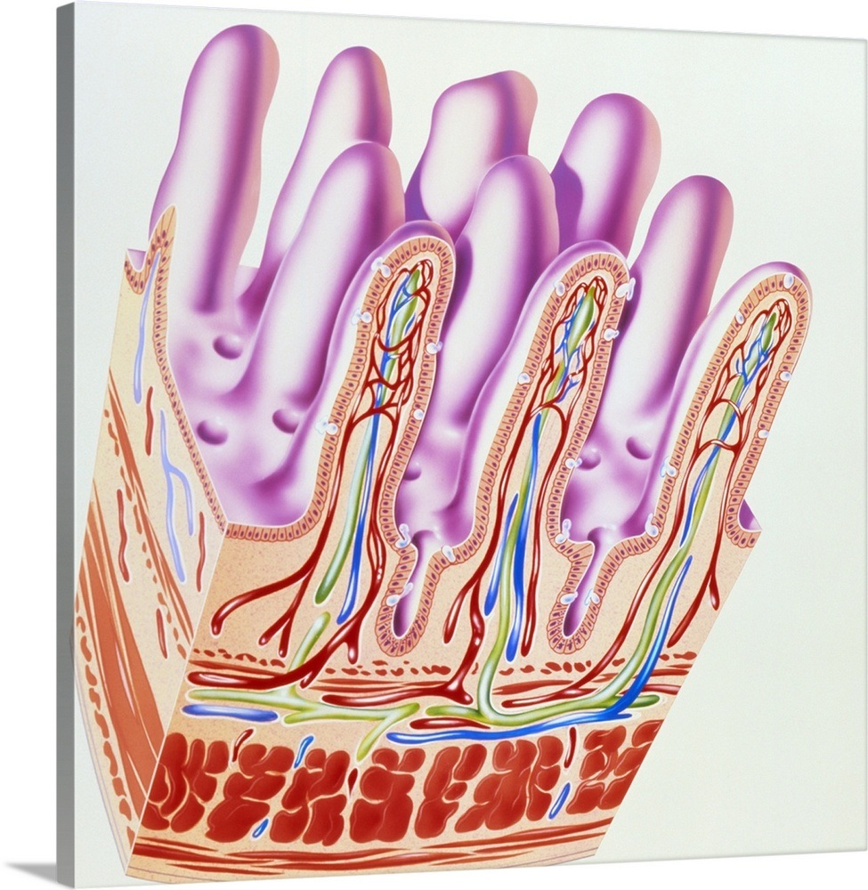 Artwork Showing Structure Of Small Intestine Villi Wall Art Canvas