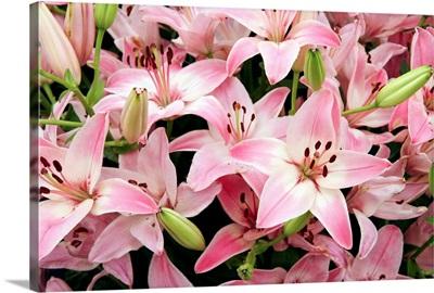 Asiatic lily (Lilium 'Vermeer')