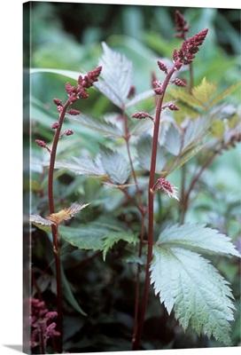 Astilbe (Astilbe sp.)