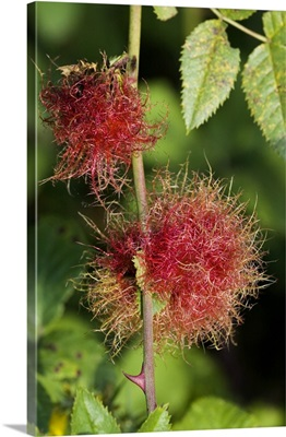Bedeguar gall on wild rose