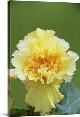 Begonia exotica 'Feathered Sun'
