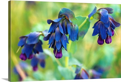 Blue shrimp plant flowers