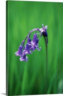 Bluebell (Hyacinthoides non-scripta)