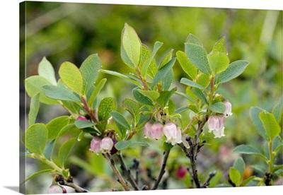 Bog bilberry (Vaccinium uliginosum)