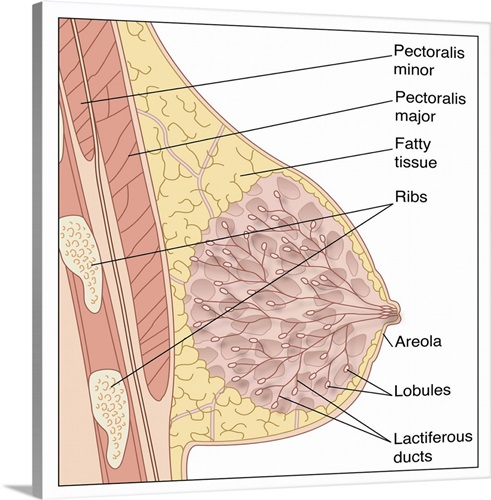 Breast anatomy, artwork Wall Art, Canvas Prints, Framed Prints, Wall ...