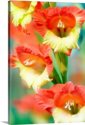 Butterfly gladiolus flowers
