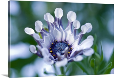 Cape daisy (Osteospermum sp.)