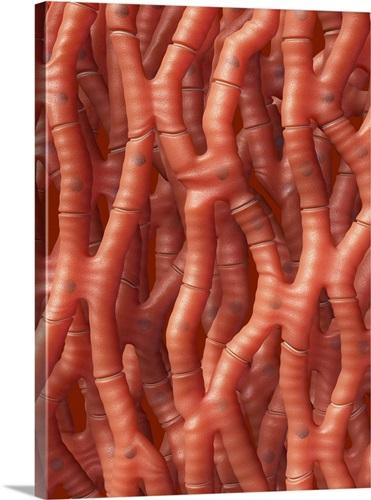 Cardiac muscle, artwork Wall Art, Canvas Prints, Framed Prints, Wall ...
