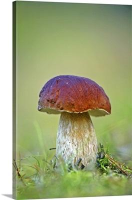 Cep mushroom (Boletus edulis)