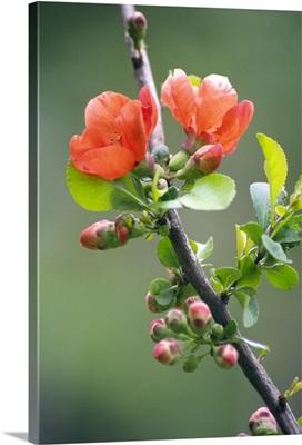 Chaenomeles japonica flowers