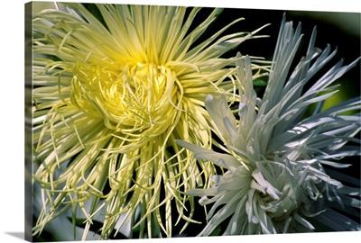 China aster flowers (Callistephus sp.)