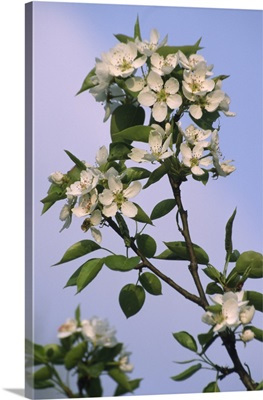 Chinese pear blossom (Pyrus ussuriensis)