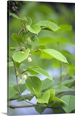 Chinese schisandra (Schisandra chinensis)