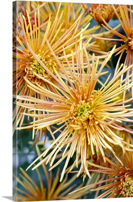 Chrysanthemum 'Symphony'