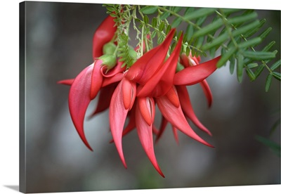 Clianthus puniceus 'Flamingo'