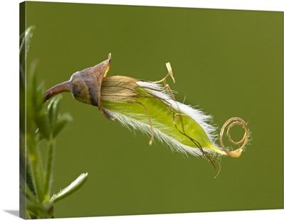 Common broom fruit (Cytisus scoparius)