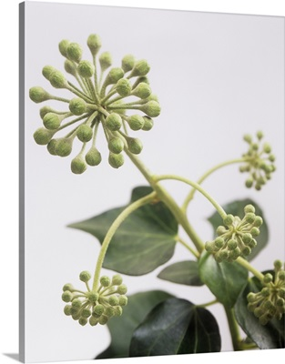 Common ivy (Hedera helix) flower buds