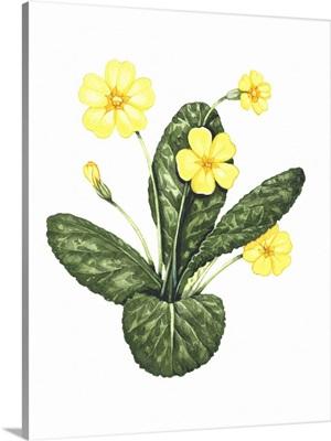 Common primrose, artwork