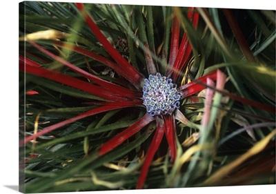 Crimson bromeliad (Fasicularia bicolor)