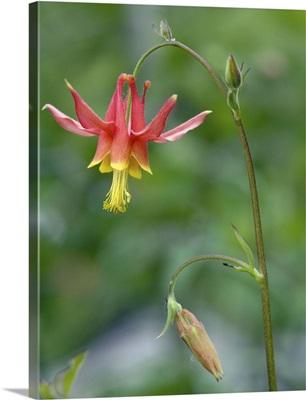Crimson columbine (Aquilegia formosa)