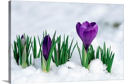 Crocus flower in the snow
