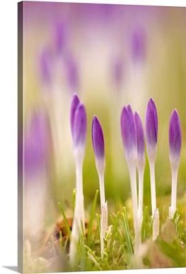 Crocus flowers (Crocus tommasinianus)