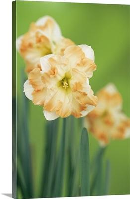 Daffodil (Narcissus 'Cum Laude')