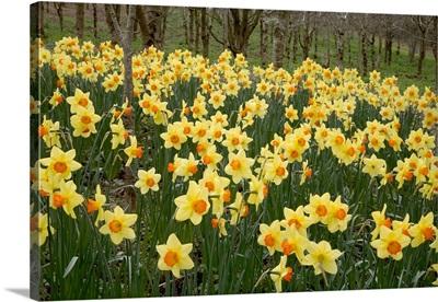 Daffodils (Narcissus 'Red Devon')