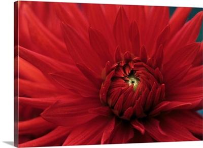 Dahlia 'Bergers Record' flower