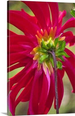 Dahlia (Dahlia cultorum)
