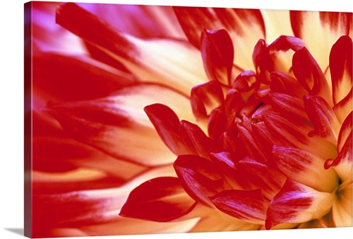 Dahlia Flower Wall Art Canvas Prints Framed Prints Wall Peels Great Big Canvas