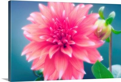 Dahlia flower and bud (Dahlia hybrid)