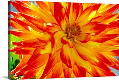 Dahlia flower (Dahlia cultorum)