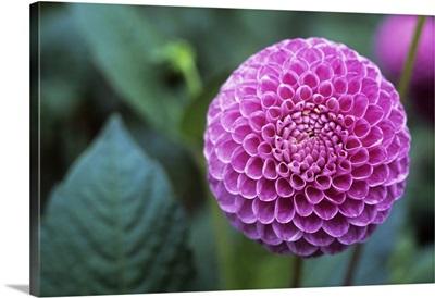 Dahlia, pompon flower
