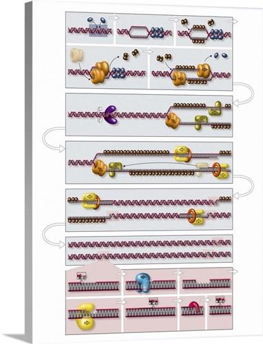 Dna replication process diagram wall art canvas prints framed dna replication process diagram ccuart Choice Image