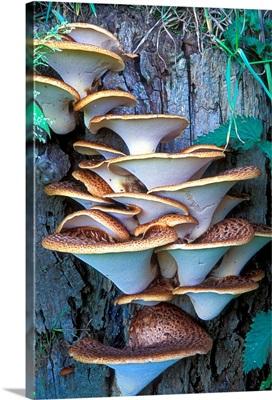 Dryad's saddle fungi