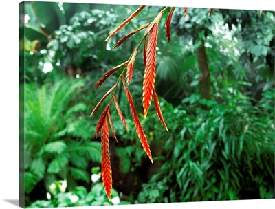 Epipihytic bromeliad (Vriesa elata)