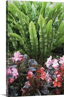 Fern (Asplenium scolopendrium)