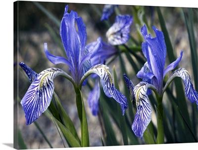 Flag irises (Iris missouriensis)