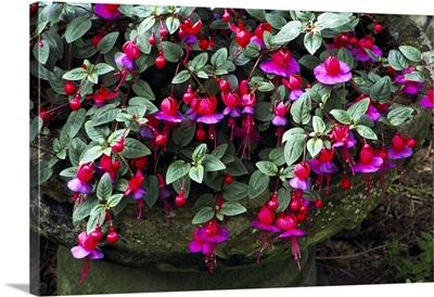 Fuchsia 'Swanley Gem'