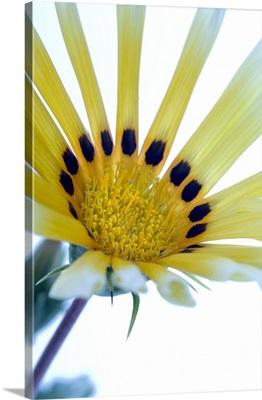Gazania flower (Gazania sp.)