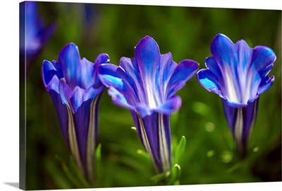 Gentiana sino-ornata 'Blue Sky'