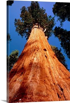 Giant Sequoia 'General Sherman'