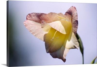 Gladiolus flower (Gladiolus gandavensis)