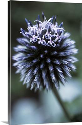 Globe thistle 'Veitch's Blue'