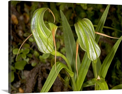 Green hood orchid (Pterostylis patens)