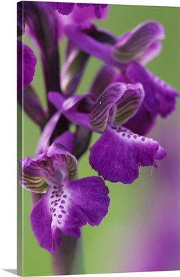Green-winged orchids (Anacamptis morio)