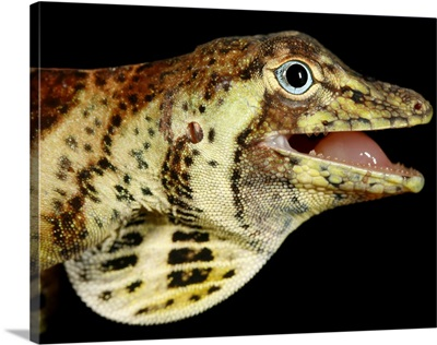 Head of a banded tree anole