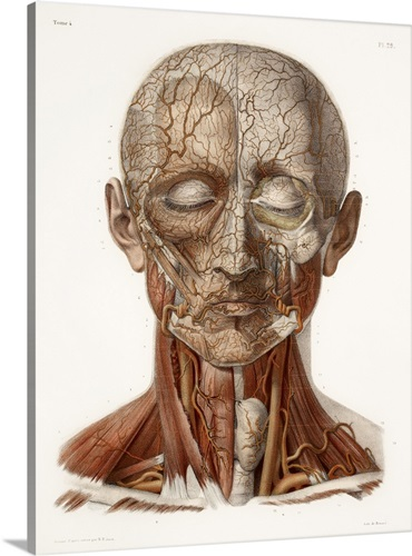 Head Vascular Anatomy Historical Artwork Wall Art Canvas Prints