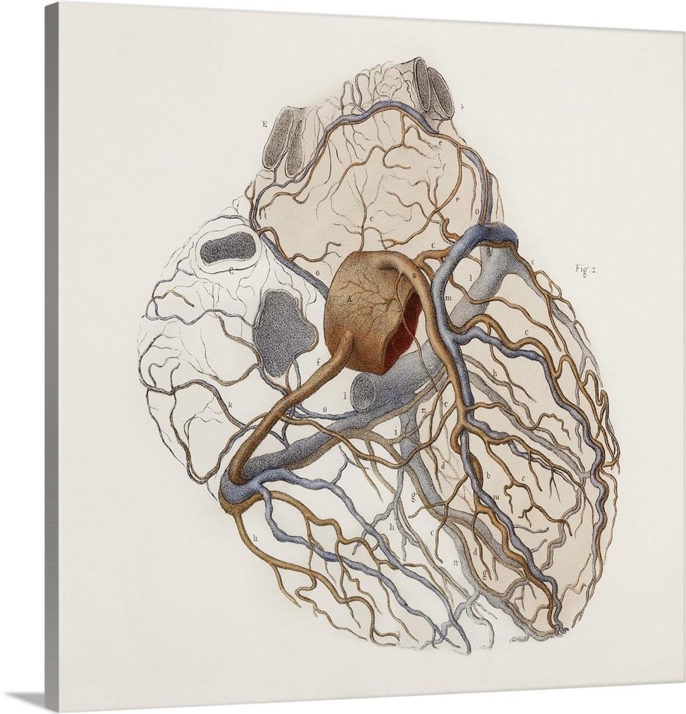 Heart Anatomy 19th Century Illustration Wall Art Canvas Prints